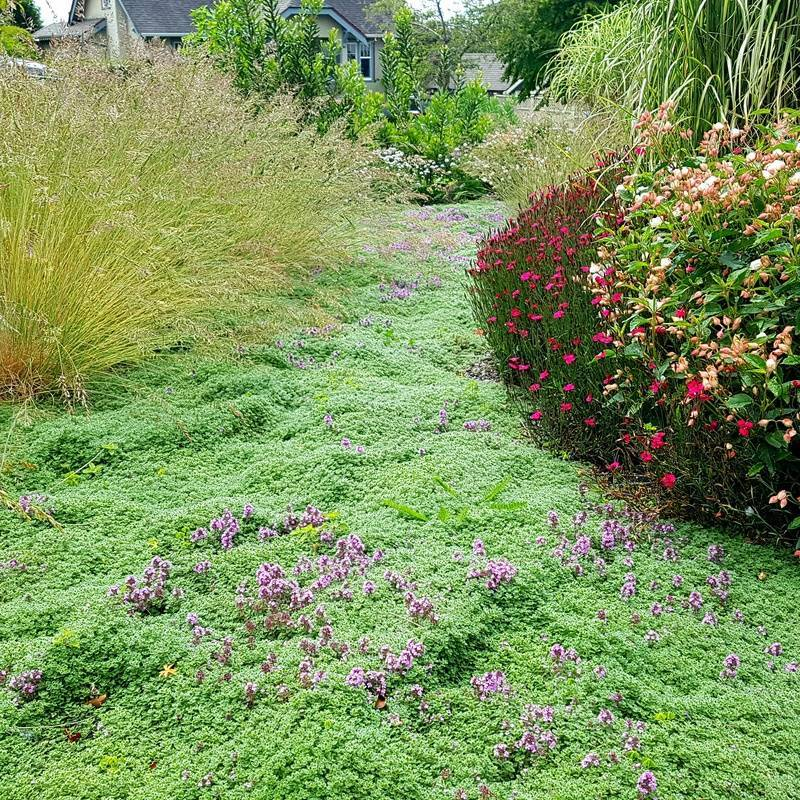 A fragrant carpet of woolley thyme replaces a high maintenance lawn in this garden makeover